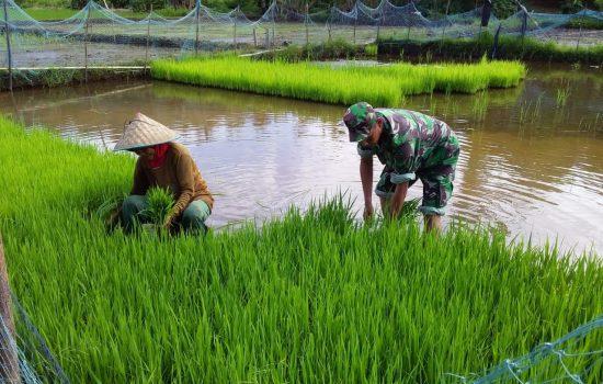 Sertu Gunawan Sigit Bantu Petani Cabut Bibit
