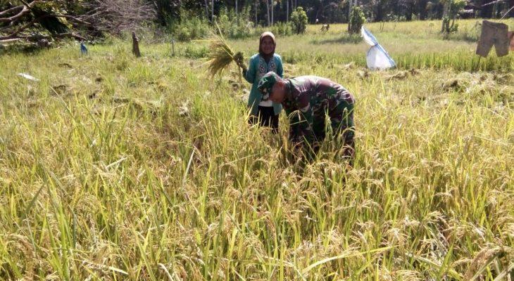 Babinsa Darul Hikmah Bantu Petani Panen Padi