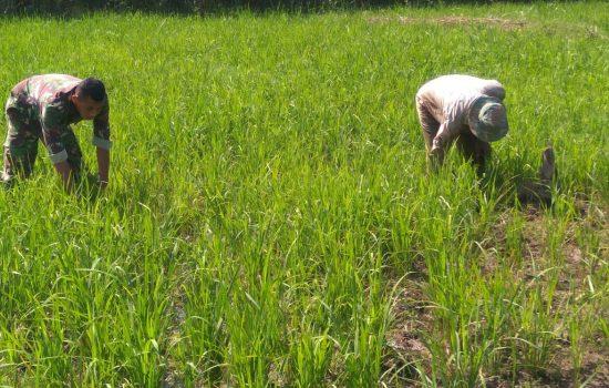 Kopda Iswadi Bantu Petani Bersihkan Rumput Padi