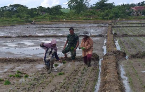 Serka Sugeng Bantu Petani Menanam Padi