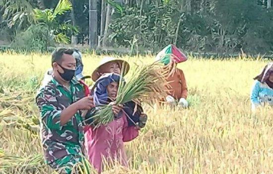 Upaya Capai Ketahanan Pangan, Kopda Sulomo Bantu Petani Desa binaannya Panen Padi