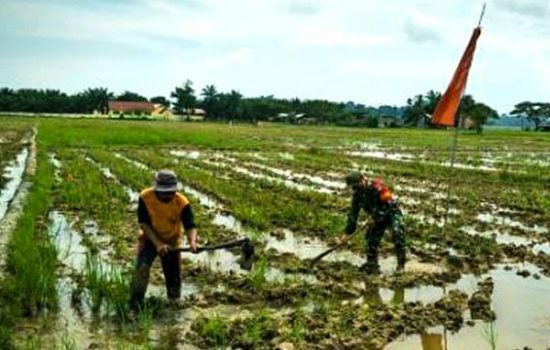 Dukung Swasembada Pangan Ditengah Pandemi Covid-19, Babinsa Ramil 15/Plkb Kodim0104/Atim Turun Kesawah