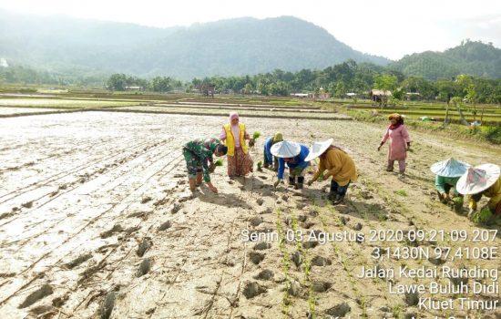 Babinsa Koramil 13/KT Bersama Penyuluh Pertanian Memotivasi Petani Dengan Membantu Tanam Padi