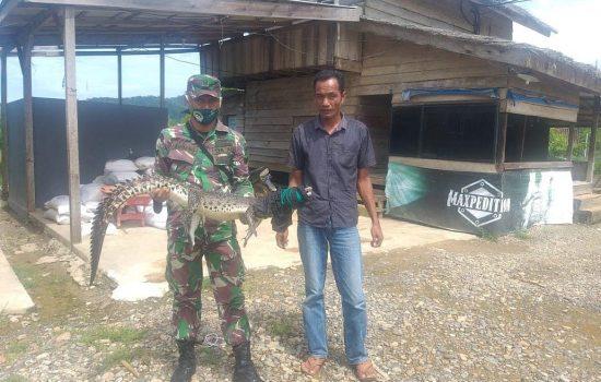 Anak Buaya Sangkut Pada Jaring Nelayan, Babinsa Hubungi BKSDA